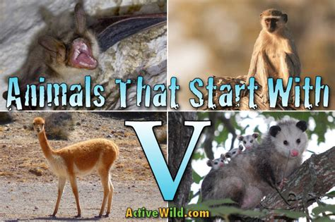 animals that start with the letter f animals that start with v list of amazing animals 20456 | animals that start with v