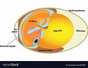 Bird Egg Embryo Diagram Royalty Free Vector Image