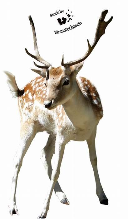 Deer Transparent Christmas Clipart Clip Reindeer Buck