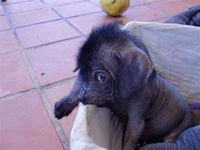 Baby Mexican Hairless Dog