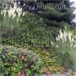 Pampasgras Wann Schneiden : pampasgras cortaderia selloana schneiden pflege pflanzen ~ Lizthompson.info Haus und Dekorationen