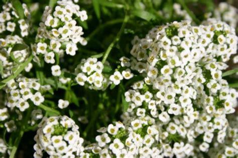 small white border flowers alyssum