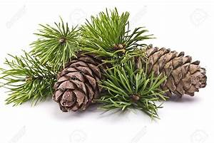 Pine Cone clipart pine bough - Pencil and in color pine ...