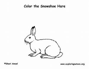 Hare  Snowshoe  Coloring Page