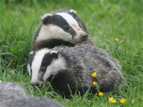 college park infant school badgers