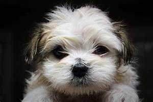 Cute Maltese Shih Tzu | www.pixshark.com - Images ...