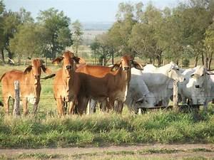 Grey Brahman Cattle