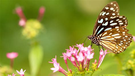 butterfly  top  pink flowers hd wallpapers