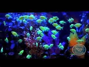 Glofish genetically modified fish
