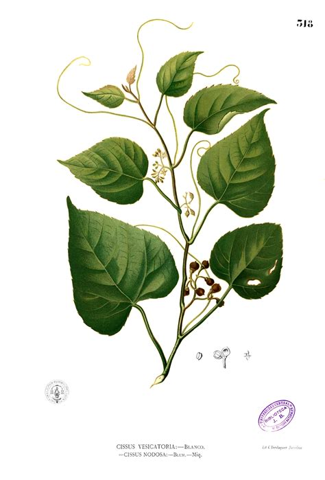 cissus repens wikipedia