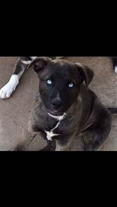 Pit bull husky mix. Wow those eyes! | Puppy Dog Eyes ...