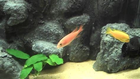 Aquascaping Cichlid Aquarium by 55g Diy Aquascape Cichlid Tank And Anubias
