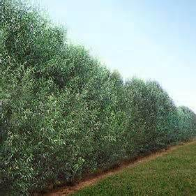 fast growing fence cover 1000 ideas about fast growing trees on pinterest trees with flowers fastest growing trees