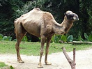 Camels - Wikiquote