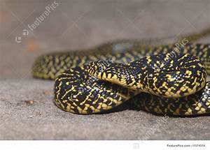 Speckled Kingsnake Image