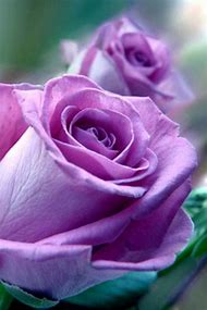 Purple Rose Flowers