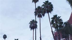Palm Trees Blowing In The Wind Before A Tropical Storm Or ...