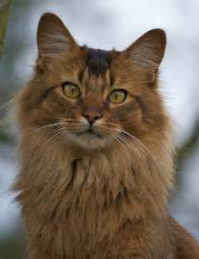 somali cats somali cat flickr photo