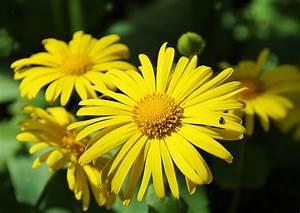 Aktuelle Blumen Im April : doronicum caucasicum kaukasus g mswurz fr hlingsmargerite ~ Markanthonyermac.com Haus und Dekorationen