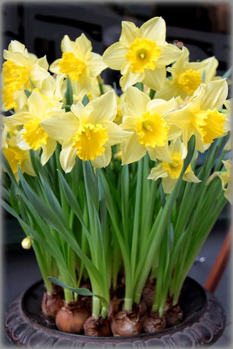 poisonous plants narcissus daffodil and jonquil are