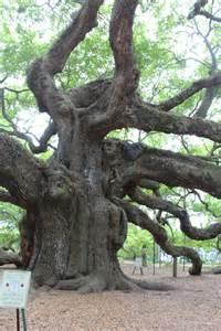 Oldest Oak Tree in South Carolina