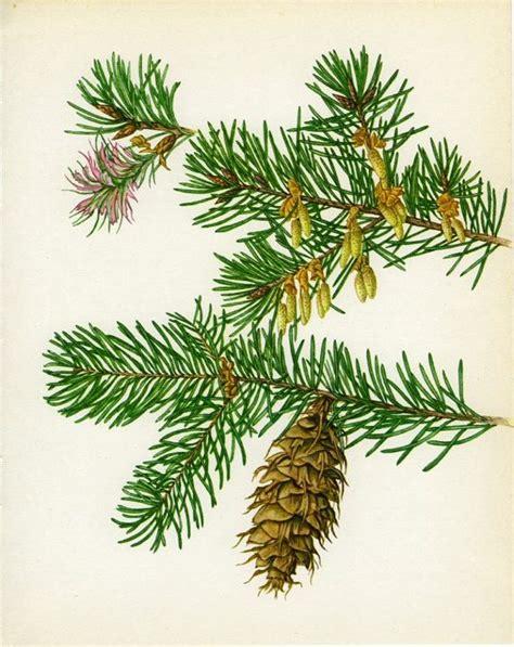 douglas fir platten vintage tree print douglas fir american by marcadevintageprints 10 30 botanical 크리스마스