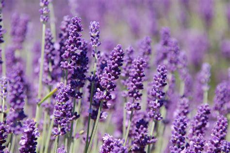 lavender plants lavender mylavendergarden s weblog