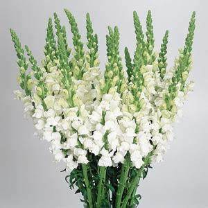 Cool White Snapdragon
