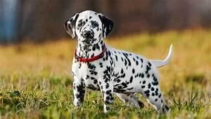 Dalmatian - Information, Characteristics, Facts, Names