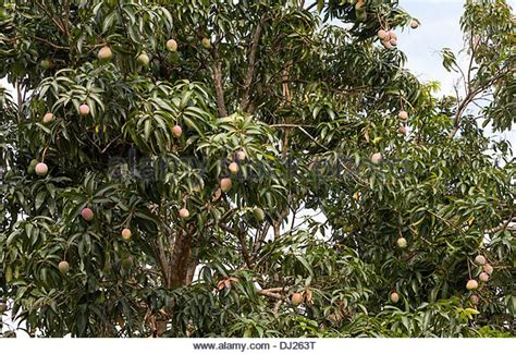 bearing tree fruit bearing stock photos fruit bearing stock images alamy