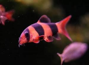 All About Aquarium Fish Aquarium Fish Species Clown Loach