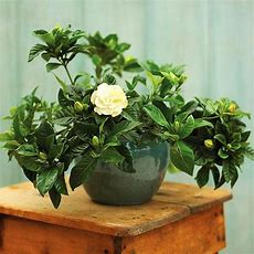 Best 25+ Gardenia Bush Ideas On Pinterest Gardenias