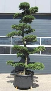 18 besten garten bonsai fur garten bilder auf pinterest With französischer balkon mit garten bonsai shop