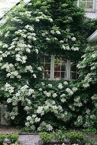 Plantes Grimpantes Mur : les plantes grimpantes beaucoup d 39 id es pour le jardin ~ Melissatoandfro.com Idées de Décoration