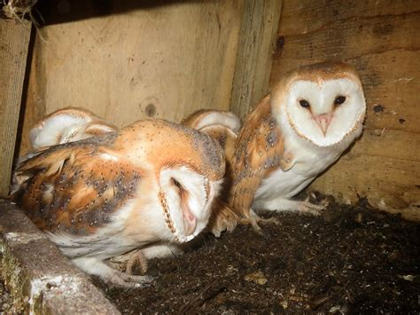 Barn Owl Breeders by Barn Owl Success Sussex Wildlife Trust