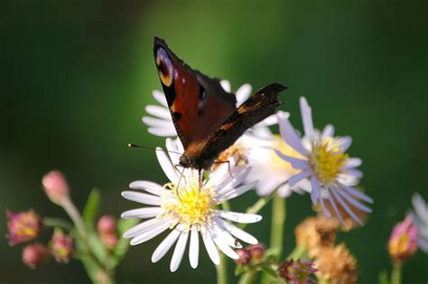 Garten Pflanzen Schmetterlinge by Mehr Schmetterlinge Im Garten Mit Den Richtigen Pflanzen