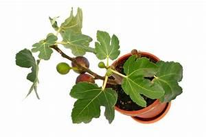 Feigenbaum Im Kübel : feigenbaum auf dem balkon so gedeiht er hier am besten ~ Lizthompson.info Haus und Dekorationen