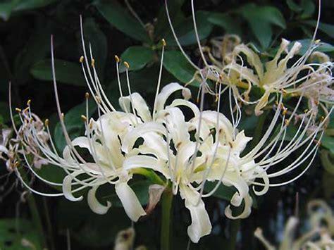 gallery white spider lilies