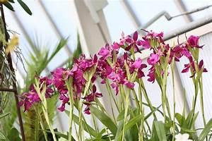 Orchideen Oase Berlin : nur dieses wochenende dendrobium hibiki zum sonderpreis ~ A.2002-acura-tl-radio.info Haus und Dekorationen