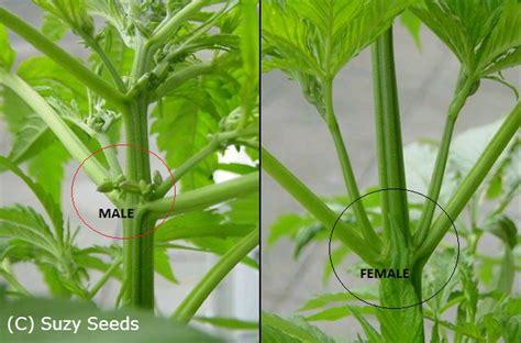 planter du cannabis en interieur plante m 226 le ou plante femelle cannabis cultiver du cannabis suzyseeds