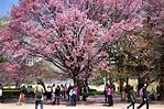 【東京賞櫻】一篇上手!新宿御苑&上野公園兩大賞櫻景點、周邊美食攻略-MATCHA-欣傳媒旅遊頻道