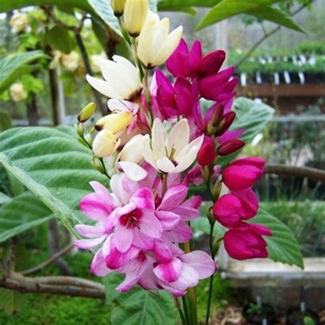 flower bulbs quot ixia mabel quot x 12 25 summer garden plants
