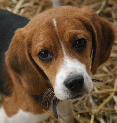 Filebeagle Puppy Portrait Jpg