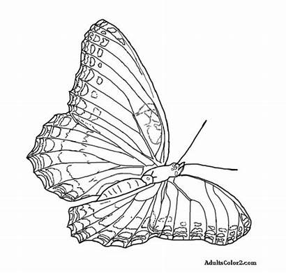 Butterfly Drawing Coloring Purple Pages Airborne Line