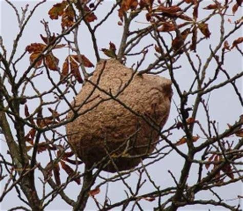 detruire un nid de frelon photos de conception de maison