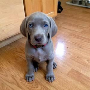 Image Gallery weim puppies