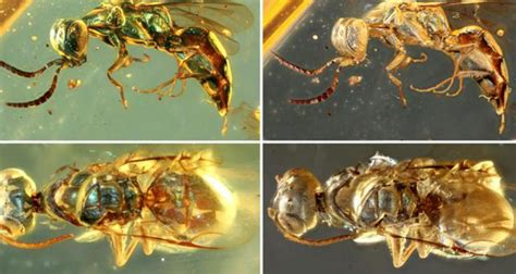 colorful  million year  insects preserved  amber