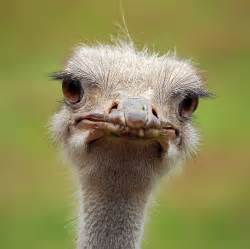 Funny Looking Ostrich