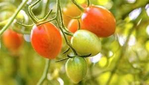 Grüne Tomaten Nachreifen : tomaten schneller reifen lassen so wird aus gr n doch ~ Lizthompson.info Haus und Dekorationen