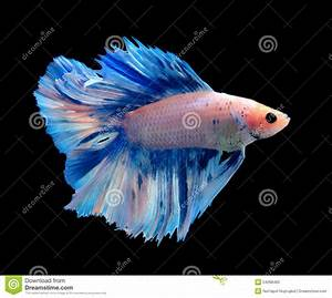 White And Blue Siamese Fighting Fish, Betta Fish On ...